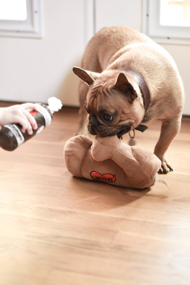 playing hard - fawn French bulldog playing with a toy - How to Survive Life with a Puppy and Young Kids